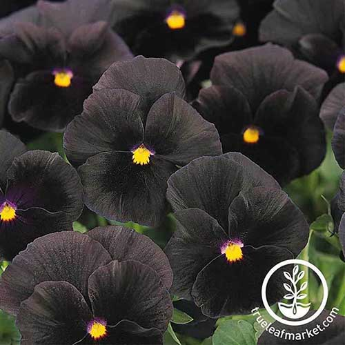 A close up of the deep purple, almost black flowers of the 'Halloween II' pansy growing in the garden. To the bottom right of the frame is a circular logo and white text.