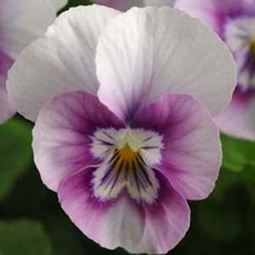 A close up of a delicate white and pink flower of the 'Halo' variety of viola on a soft focus background.