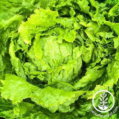 A top down close up of the green leaves and tight head of 'Hanson Improved' lettuce. To the bottom right of the frame is a white circular logo and text.