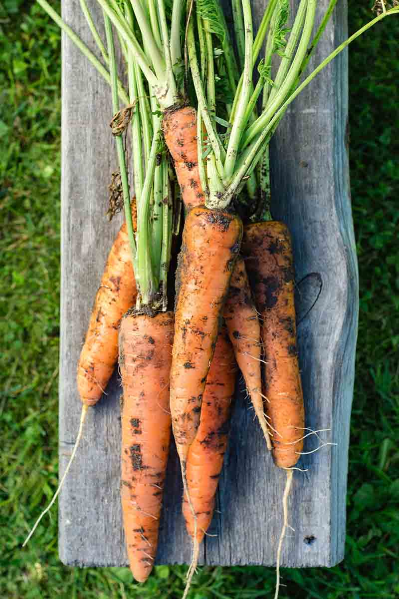 A vertical picture of freshly picked carrots with the tops still attached and soil on the roots set on a wooden surface with grass in the background.