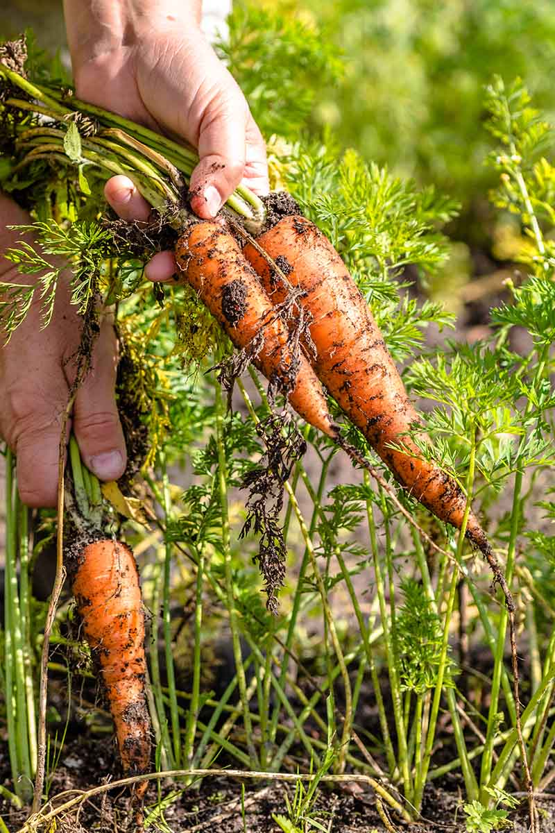 A close up vertical picture of a hand from the left of the frame pulling up carrots out of the ground, in bright sunshine, on a soft focus background.