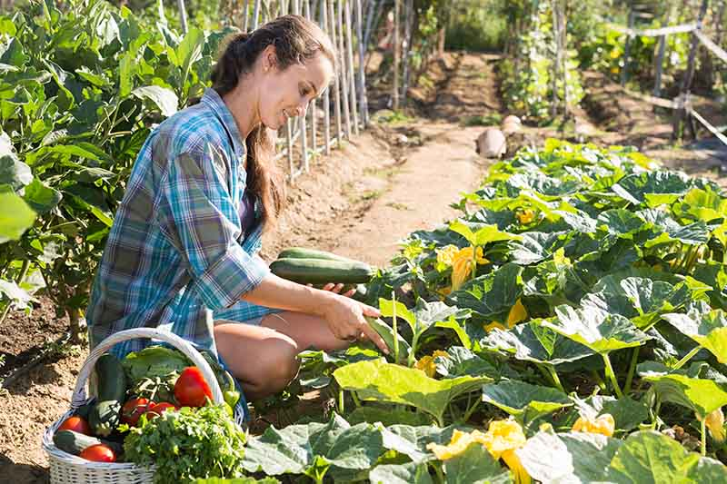 A close up of a woman harvesting zucchini on a hot sunny day with a basket to the bottom of the frame and a vegetable garden in soft focus in the background.