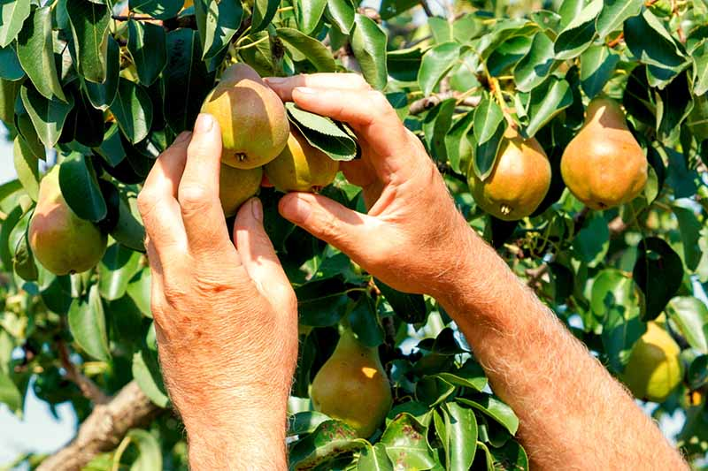 Two hands reaching up to a tree to harvest pears in bright sunshine.
