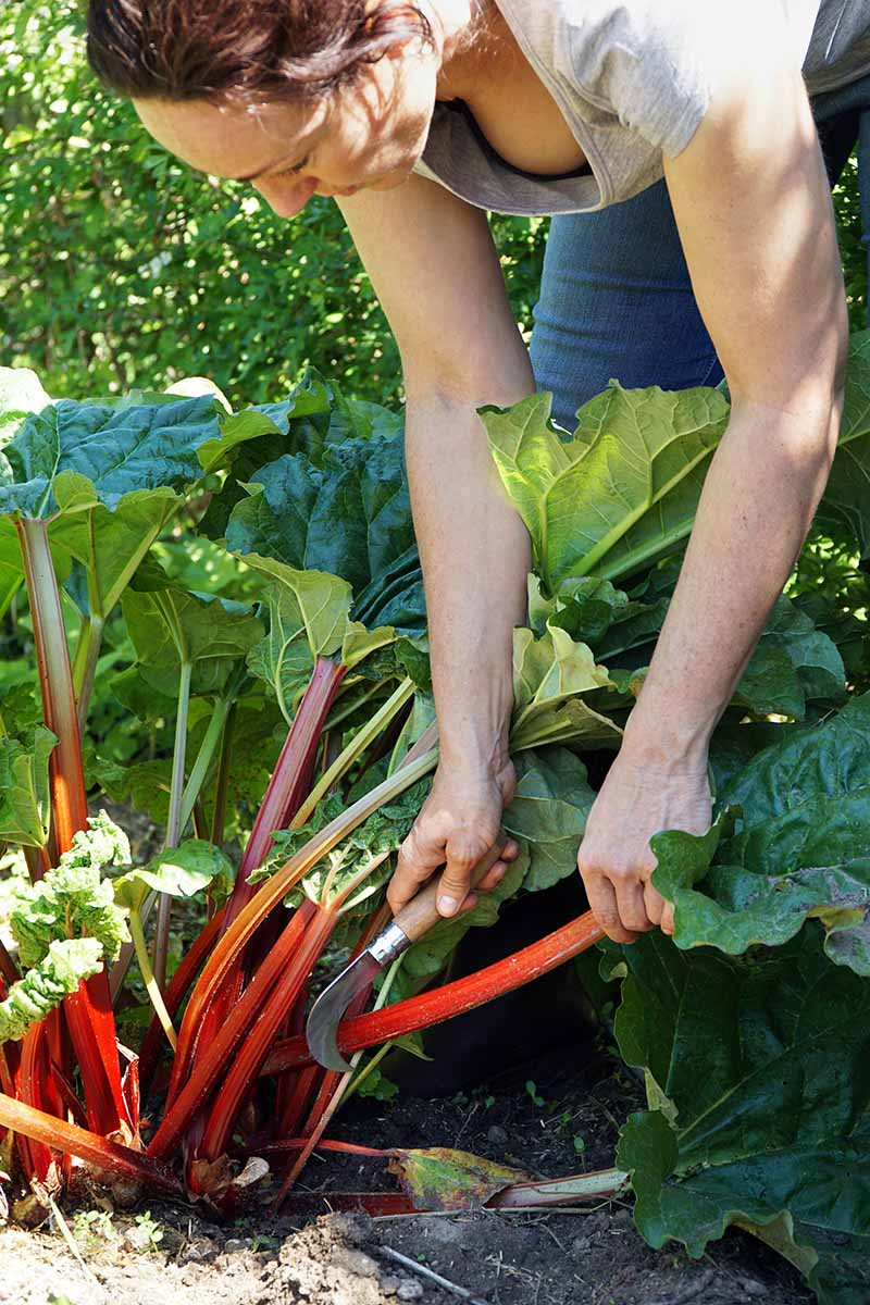 A vertical picture of a woman holding a garden knife cutting a red, ripe stalk from a Rheum rhabarbarum plant in bright sunshine.