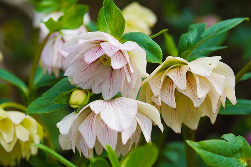 A close up of hellebore flowers growing in the garden on a soft focus background.