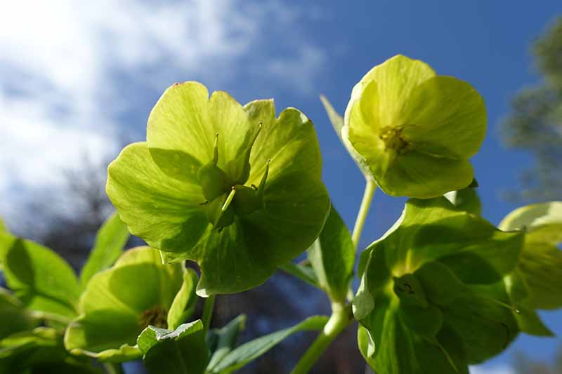 A close up of the flowers of Helleborus cyclophyllus displaying the characteristic seed pods growing from the center of the flower, against a blue sky, soft focus background.