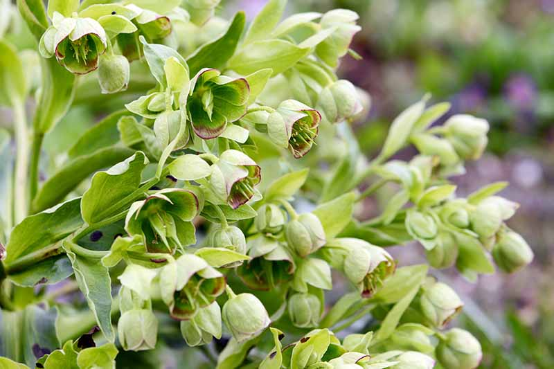 A close up of the bell-shaped, light green and purple-tinted flowers of Helleborus foetidus growing in the garden with the background fading to soft focus.
