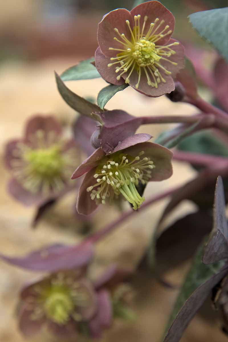 A close up of the flowers of a Helleborus lividus plant growing in the garden on a soft focus background.