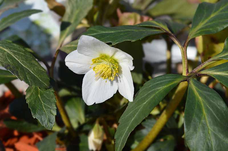 A close up of the white flower of H. niger with yellow center and surrounded by dark green foliage, growing in the garden fading to soft focus in the background.