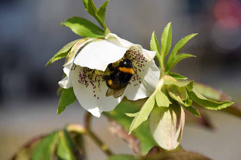 A close up of a Helleborus orientalis flower, white with purple speckles with a bumblebee inside it, growing in the garden on a soft focus background.