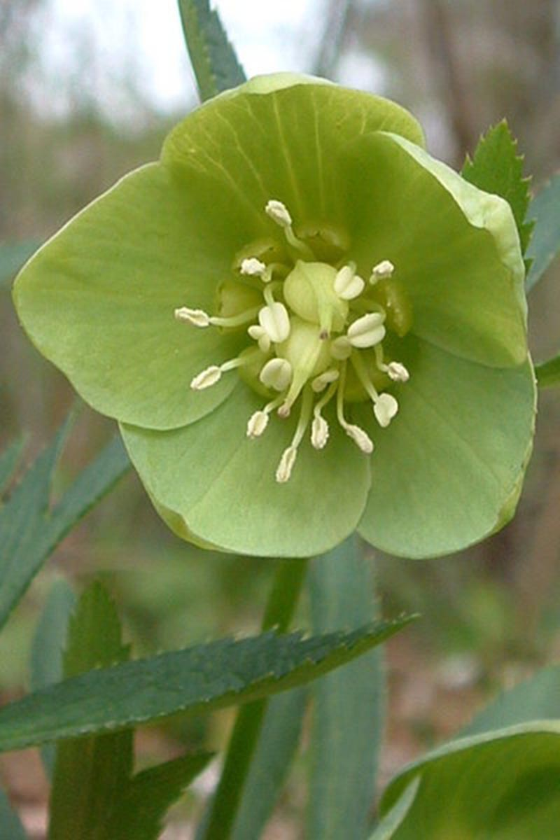 A vertical close up picture of H. viridis flower, with light green sepals growing in the garden on a soft focus green background.