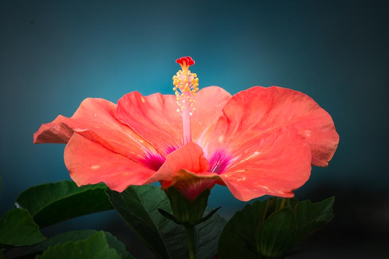 A close up portrait of an orange hibiscus flower with characteristic staminal column on a dark soft focus background.