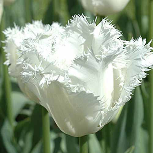 A close up of the white frilly flower of 'Honeymoon,' a variety of tulip, growing in the garden in springtime in bright sunshine on a soft focus background.