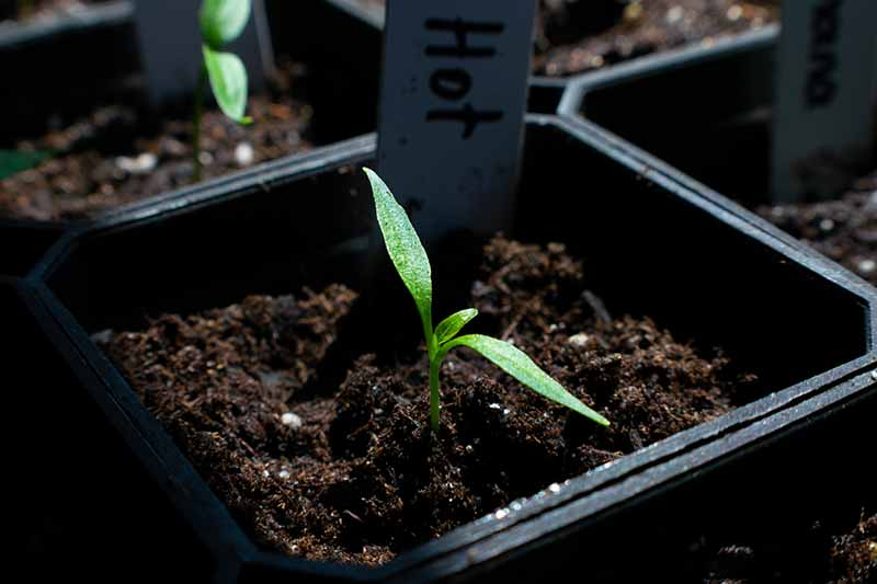 A close up of a hot pepper seedling in a small plastic pot planted in rich dark soil.