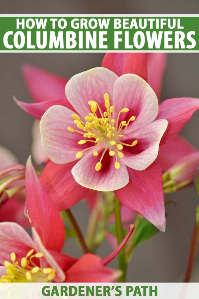 Close up of a red-pink columbine flower in bloom.