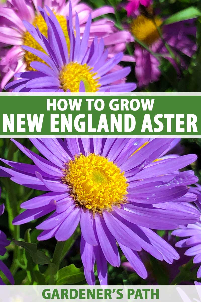 Close up of purple New England aster blooms.