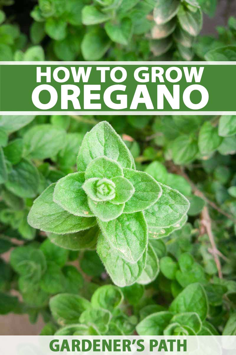 Examine This Report on How To Plant Oregano Seeds