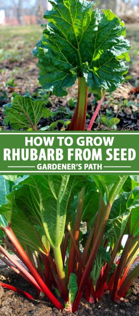 A collage of photos showing different views of young rhubarb plants grown from seed.