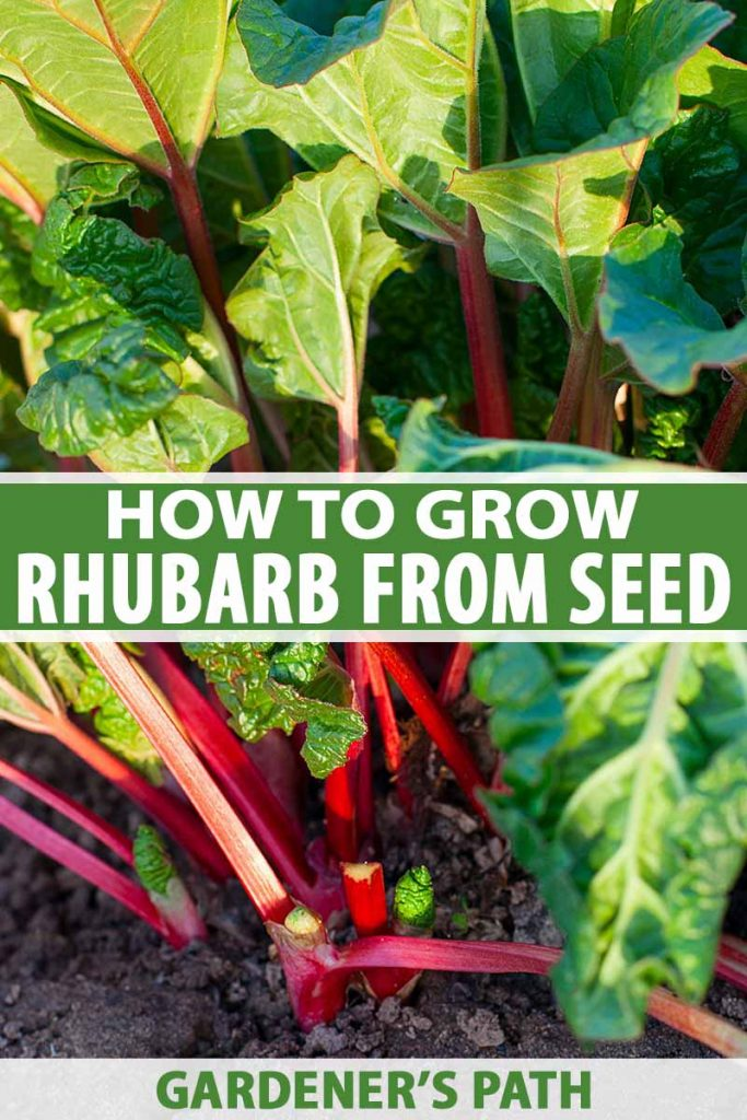 A vertical picture of a large rhubarb plant with dark red stems and bright green foliage growing in the garden pictured in the evening sunshine. To the center and bottom of the frame is green and white text.