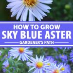 A collage of photos showing different views of sky blue aster flowers in bloom.