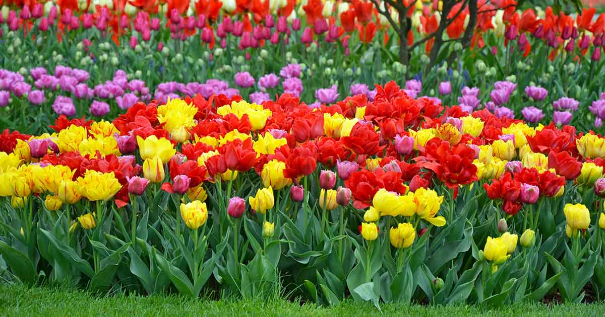 How To Grow And Care For Tulips Gardener S Path