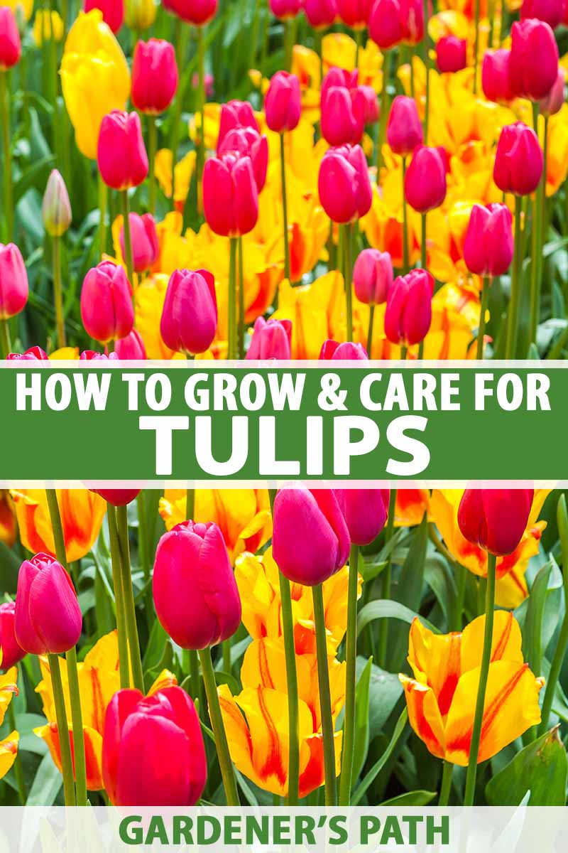 How To Grow And Care For Tulips
