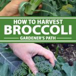 A collage of photos showing broccoli being harvested.