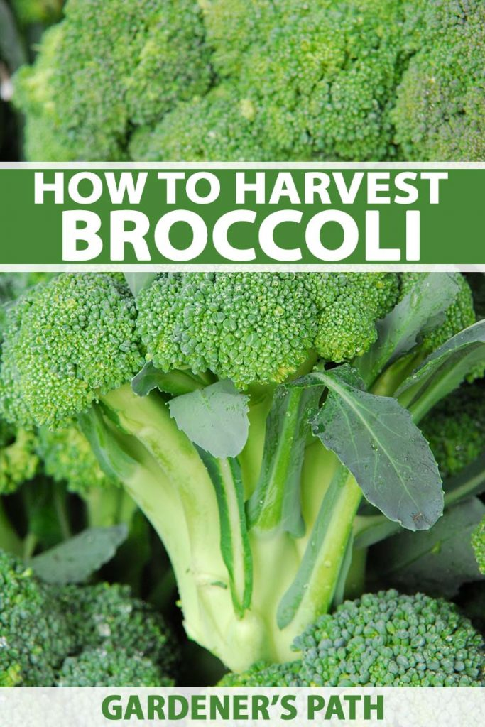 A vertical close up of bright green freshly harvested broccoli heads fading to soft focus in the background. To the center and bottom of the frame is green and white text.