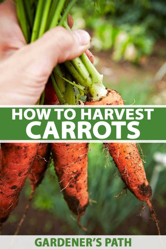 A close up vertical picture of a hand holding a bunch of freshly picked carrots with soil still attached to the roots on a soft focus background. To the center and bottom of the frame is green and white text.