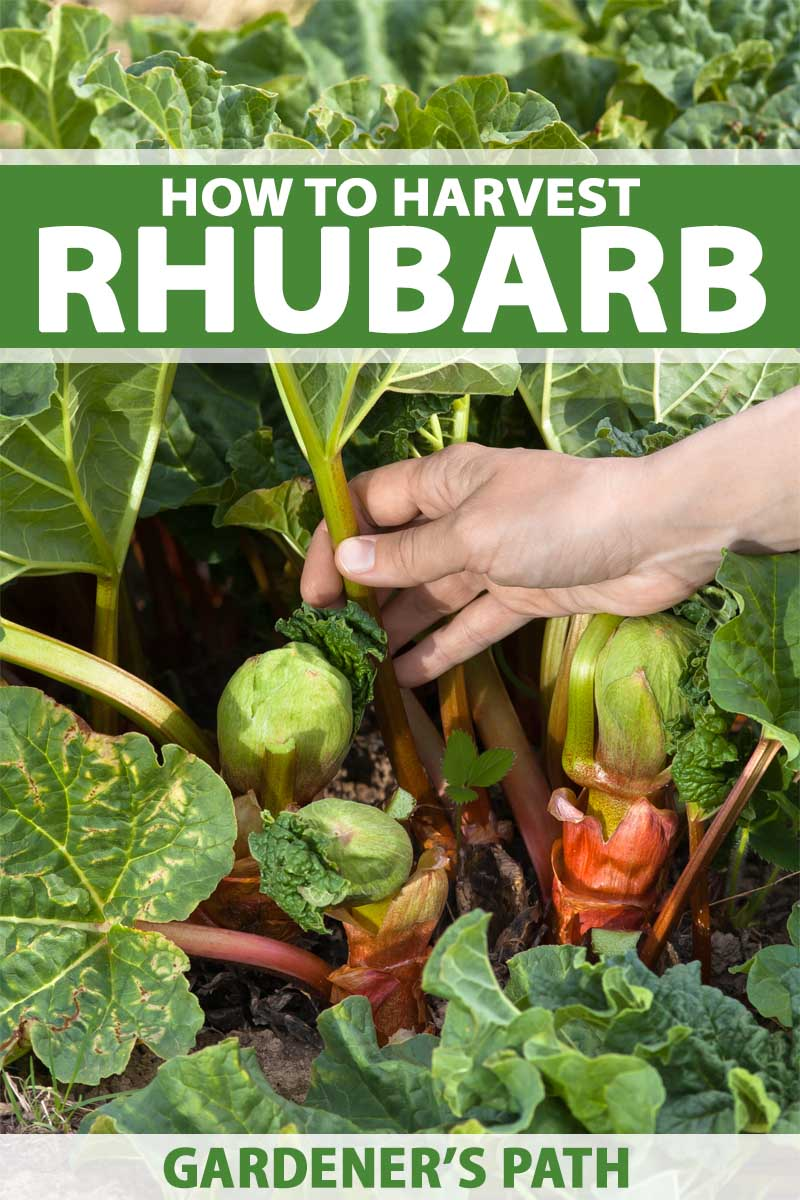 A close up of a hand from the left of the frame grasping a ripe stalk of a rhubarb plant ready for harvest. To the top and bottom of the frame is green and white text.
