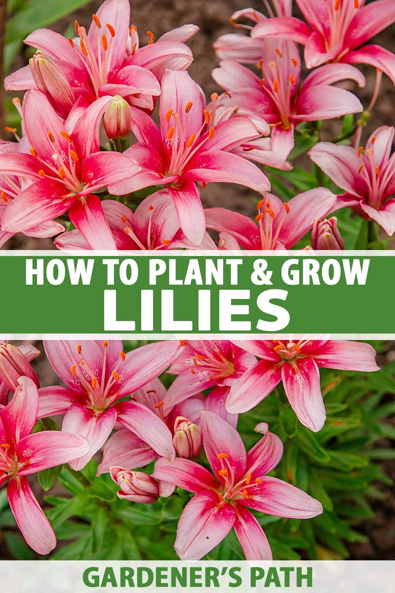 How To Plant And Grow Lilies Gardener S Path