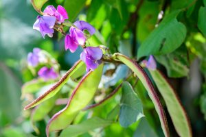 How to Grow Hyacinth Bean Vines