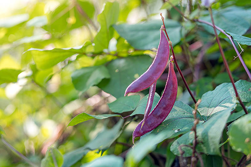 A close up of dark purple beans of the Lablab purpureus vine growing in the garden in light sunshine fading to soft focus in the background.