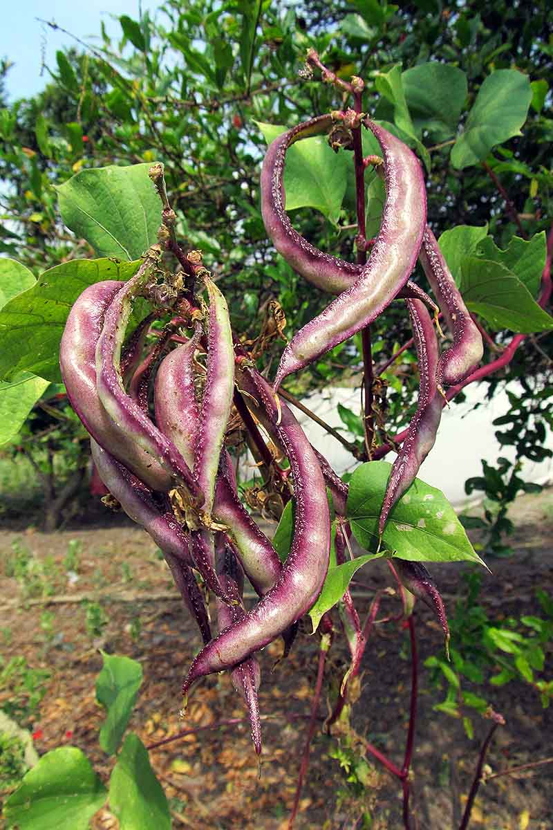 A vertical close up picture of a Lablab purpureus vine growing in the garden with large purple bean pods surrounded by green foliage, fading to soft focus in the background.