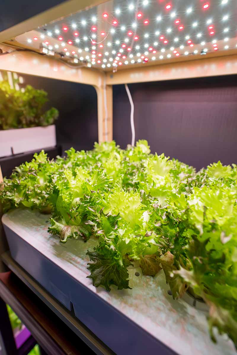 A vertical picture of lettuce plants growing hydroponically in an indoor garden under a lamp on a soft focus background.