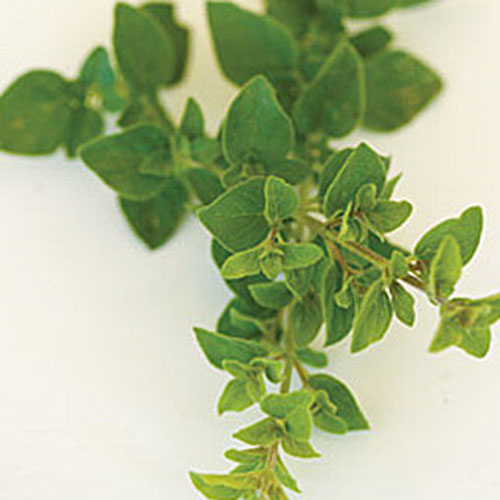 A close up of a sprig of Italian oregano on a white background.