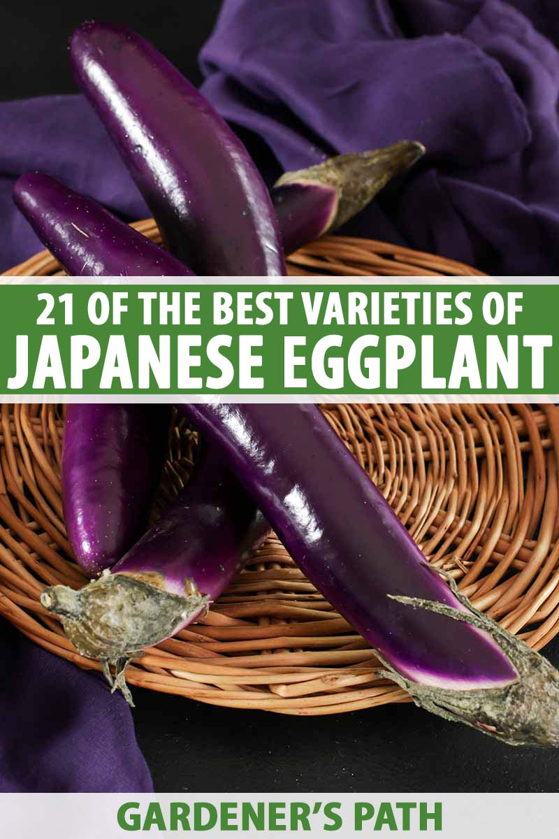A vertical picture of three long, thin, purple eggplant fruits set on a wicker plate on a purple fabric in the background. To the center and bottom of the frame is green and white text.