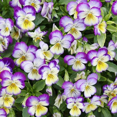A close up of a cluster of 'Johnny Jump Up' violas growing in the garden with foliage in soft focus behind them.