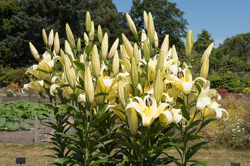 A large clump of white lilies growing in the garden, some of the flowers are open and others still in bud, with a garden scene in the background of trees and shrubs in soft focus.