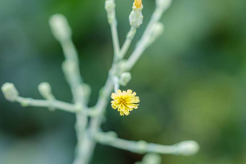 A close up of a tiny yellow Latuca sativa flower on a stem on a green soft focus background.