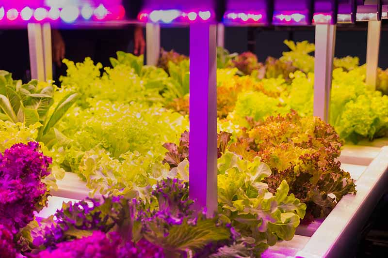 A close up of trays of lettuce growing hydroponically in an indoor garden under LED lamps fading to soft focus in the background.
