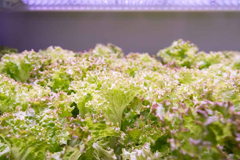 A close up of frilly lettuce plants growing indoors under a lamp on a soft focus background.