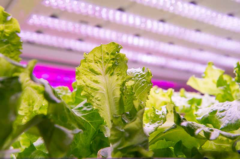 A close up of lettuce growing indoors under an LED light showing fading to soft focus in the background.