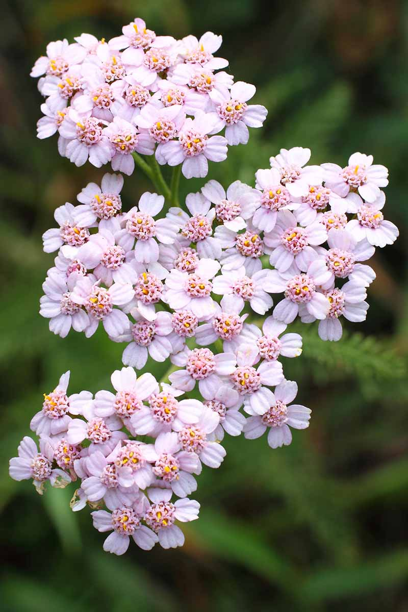 A vertical picture of delicate light pink blooms of Achillea millefolium on a soft focus green background.