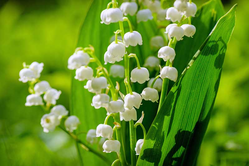 A close up of the small white lily of the valley flowers pictured in bright sunshine on a soft focus background.
