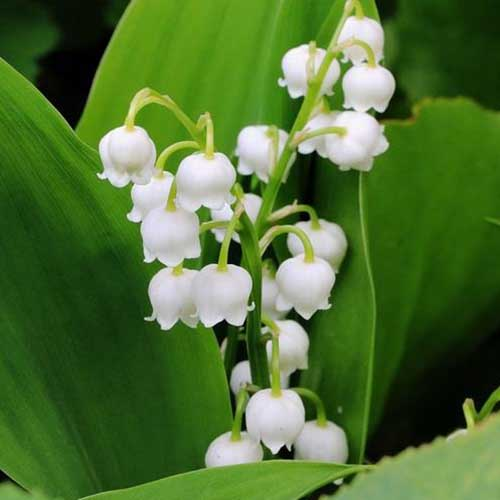 A close up of the dainty white lily of the valley flowers surrounded by bright green foliage on a soft focus background.