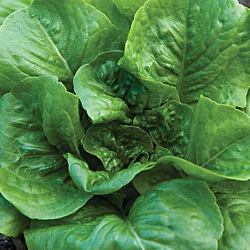 A top down close up of the large flat green leaves of the 'Little Caesar' lettuce variety growing in the garden.