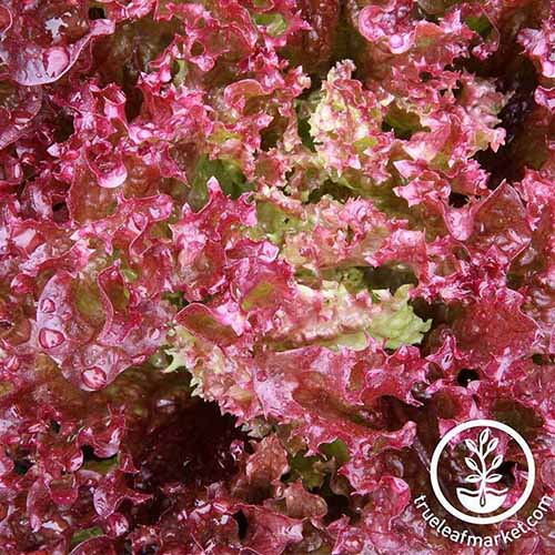 A close up of the bright red frilly leaves of 'Lollo Rosso' lettuce. To the bottom right of the frame is a white circular logo and text.