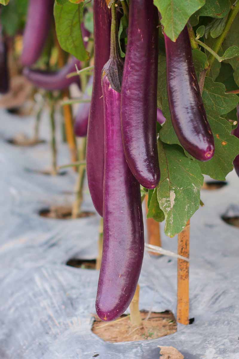 A close up vertical picture of an eggplant growing in the garden with long, thin purple fruit hanging down. At the base of the plant is plastic landscaping fabric.