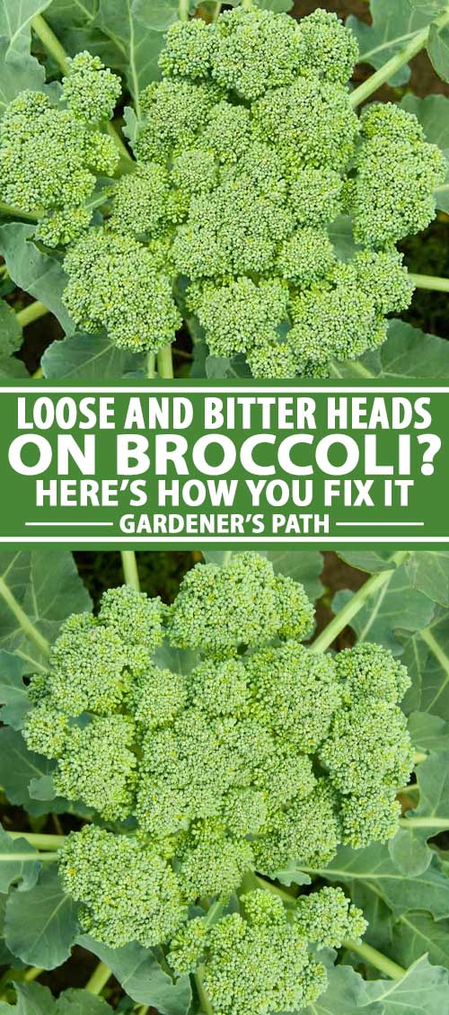 A collage of photos showing broccoli heads with loose stalks.